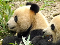 Pandas Eating Royalty Free Stock Photography