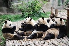Pandas eating bamboo Royalty Free Stock Images