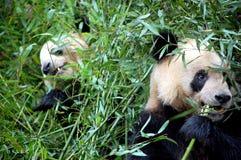 Pandas géants image libre de droits