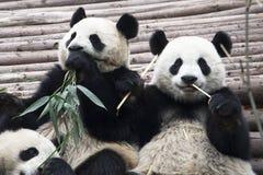 Pandas géants Photos libres de droits