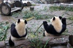 pandas géants Images libres de droits