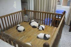 Pandas géants de sommeil, Chengdu Chine Image stock