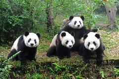 Pandas géants posant pour l'appareil-photo Photographie stock libre de droits
