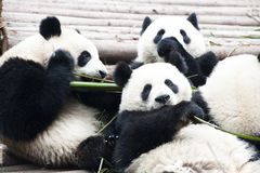 Panda Bears, eating bamboo, Chengdu, China. Cute Giant Pandas in Chengdu, China Stock Photo