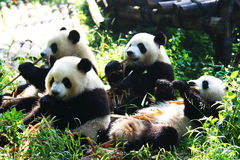 Pandas. The giant panda reserve in Chengdu Royalty Free Stock Images