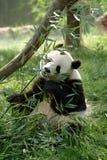 Pandas gigantes en un campo fotografía de archivo libre de regalías