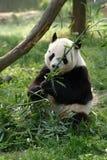 Pandas gigantes en un campo fotografía de archivo