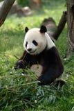 Pandas gigantes en un campo imagenes de archivo