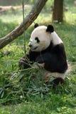 Pandas gigantes en un campo fotos de archivo libres de regalías