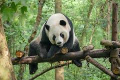 Pandas gigantes na reserva natural de Wolong, Chengdu, Sichuan espécie em vias de extinção de Provence, China e protegido imagens de stock