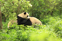 pandas jouant à la forêt Photos libres de droits