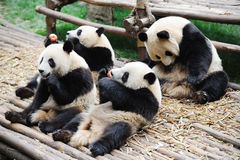 Pandas mangeant la pomme et le bambou Image libre de droits