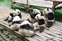 Pandas mangeant le bambou Image stock