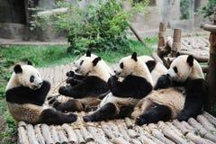 Pandas mangeant le bambou Images libres de droits