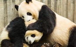 Pandas Royalty Free Stock Images