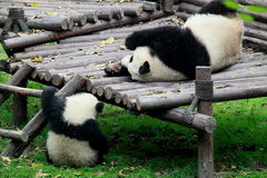 Pandas. A mother panda is playing with her son. Photo was taken in Chengdu, China Royalty Free Stock Photos