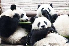 Pandas (panda gigante) Foto de Stock