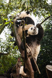 Pandas play in treetops in China Royalty Free Stock Photography