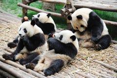 Pandas que comen la manzana y el bambú Imagen de archivo libre de regalías