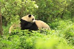 pandas que jogam na floresta Fotos de Stock Royalty Free
