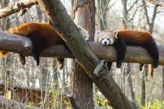 Pandas rojas Imágenes de archivo libres de regalías