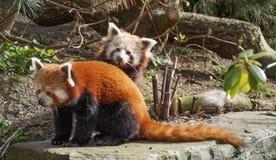 Pandas rouges Photographie stock libre de droits