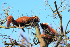 Pandas rouges Photo libre de droits