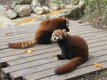 Pandas rouges Image stock