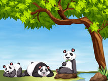 Pandas sitting under the tree Royalty Free Stock Photography