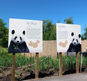 Pandas In Toronto Zoo. The Pandas ,Er Shun and Da Mao are two most popular members of the zoo, that arrive to Toronto zoo from China at march 2013 Stock Photo