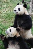 pandas två Royaltyfria Bilder
