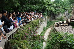 Pandas with visitors. In Chengdu research base of giant panda breeding Stock Photo