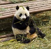 Pandas. In a wildlife reserve in China Stock Photography