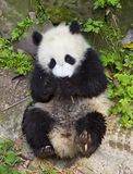 Pandas Royalty Free Stock Image
