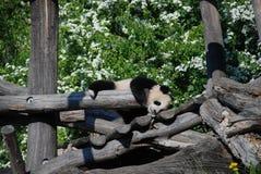 Pandaschätzchen Lizenzfreies Stockfoto
