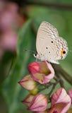 pandava πεταλούδων chilades Στοκ Φωτογραφία