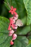 pandava πεταλούδων chilades Στοκ Εικόνες