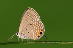 Pandava/mariposa de Chilades en la ramita Fotos de archivo libres de regalías