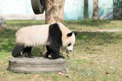 Pandaweg stockbilder
