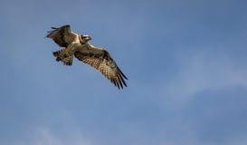 Pandion haliaetus -守卫巢的鱼鹰 库存图片
