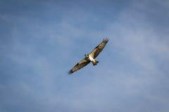 Pandion haliaetus -白鹭的羽毛或鱼鹰 库存照片