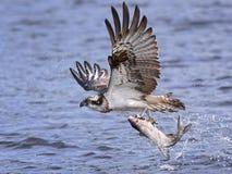 Pandion Haliaetus del falco pescatore Immagini Stock