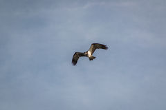 Pandion haliaetus - Fish Eagle that has spotted a fish. The Osprey (Pandion haliaetus), sometimes known as the sea hawk, fish eagle, or fish hawk, is a diurnal Royalty Free Stock Photography