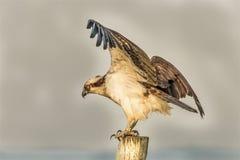 Pandion Haliaetus, The Osprey Bird royalty free stock image