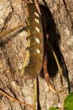 Pandora Sphinx Moth Larva arkivbilder