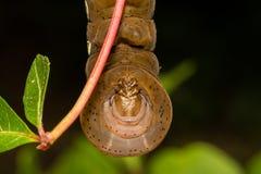 Pandora Sphinx Moth Larva royaltyfri foto