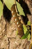 Pandora Sphinx Moth Larva fotografering för bildbyråer