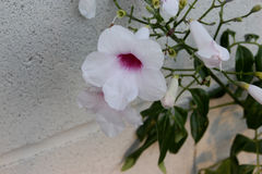Pandorea jasminoides, Bower of Beauty, Bower Vine Stock Images