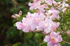 Pandorea Ricasoliana (tecoma rosado, rosado Imágenes de archivo libres de regalías