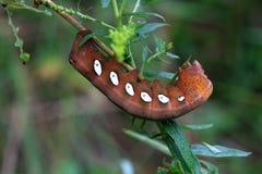 Pandorus Sphinx Moth Larva Royalty Free Stock Photos